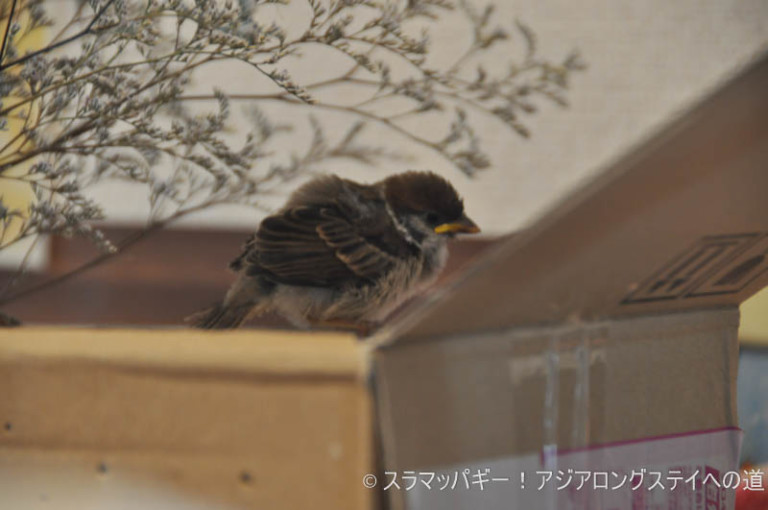 A day to protect the sparrow chicks and return them naturally. The one given by Chun Zhou.